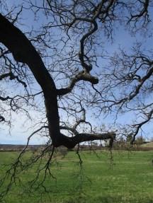 Une branche du gros chêne