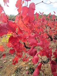 Flassans sur Issole dans les vignes en automne