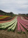 Ondulations des champs de tulipes
