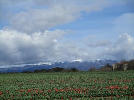 Champ de tulipes coupées