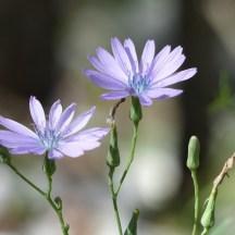 laitue à fleurs bleues - photo Tangolita