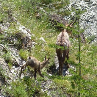maman chamois et son enfant - photo Tangolita