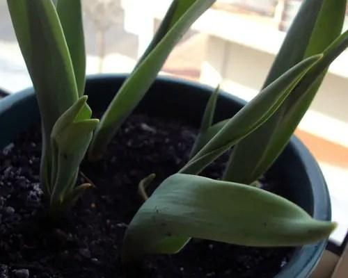 As tulipas e aquilo que me faz falta