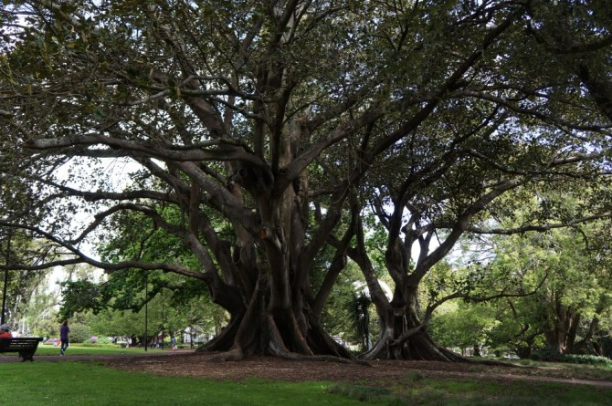 New Zealand Albert Park Tree