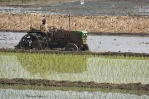 Rice Cultivation - Bangalore Goa Road Trip