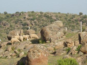 Moutons dans un cahos de piierres de granit