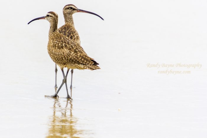 Whimbrel at Del Mar Beach