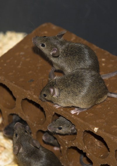 Dangers of Mice in Las Vegas - Pest Control Las Vegas - Ranger ...
