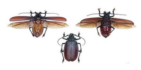 Titan Beetle1