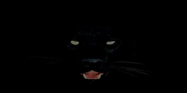 Black Cat Panther