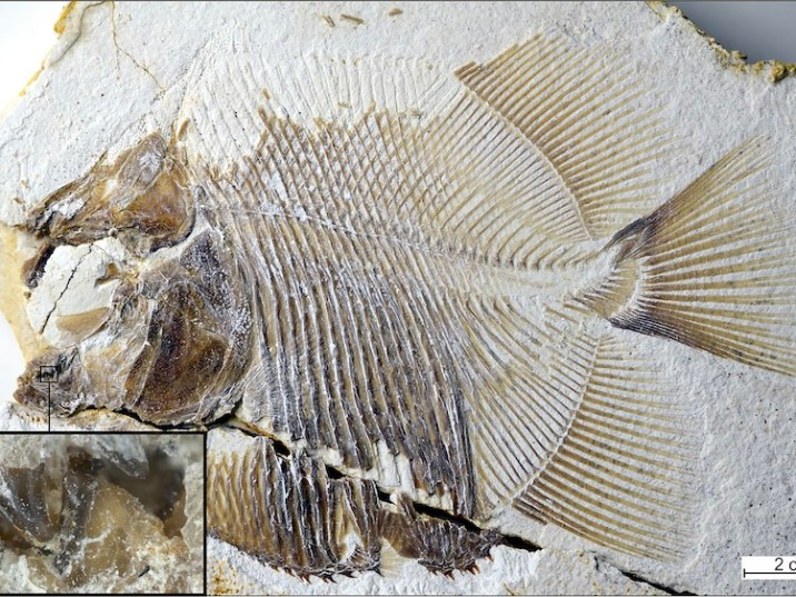 Oldest Known Piranha-Like fish