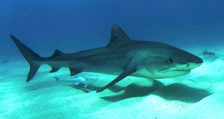 A juvenile tiger shark