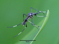 Toxorhynchites speciosus - different types of mosquitoes
