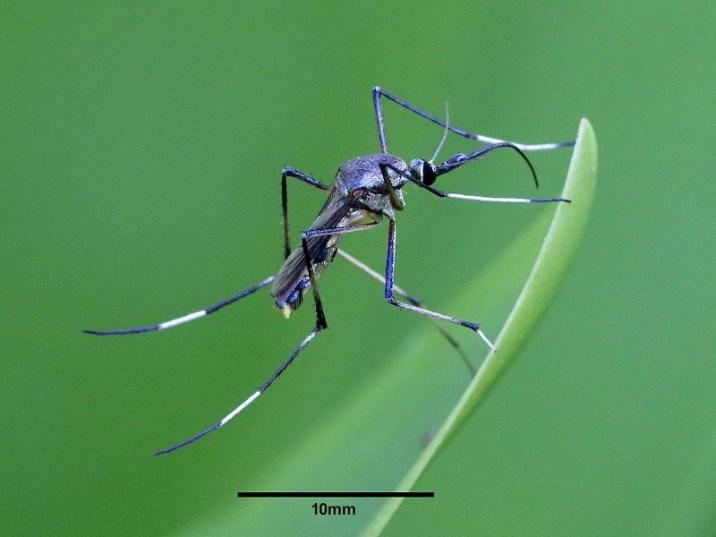 Toxorhynchites speciosus