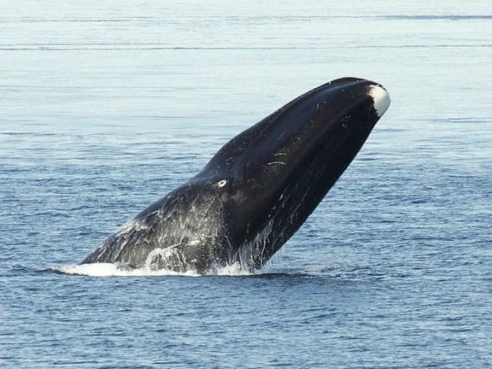 Blowhead whale