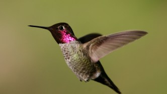 Anna's hummingbird - fastest animals in the world