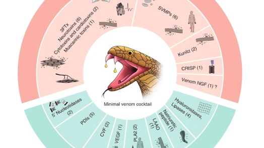 Venom Genes Of Indian Cobra