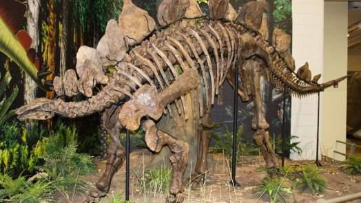 Stegosaurus - types of di