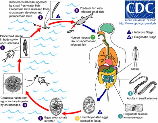 Life cycle of Diphyllobothrium latum