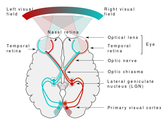 Visual system in Humans