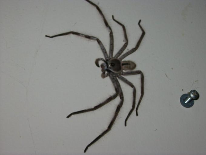 Clock spider closeup