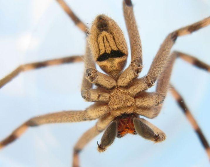 Male Palystes superciliosus