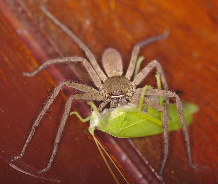 female Heteropoda venatoria
