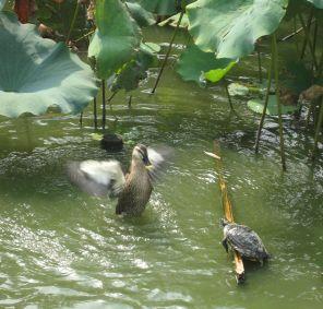 duck-at-ueno-gardens.jpg