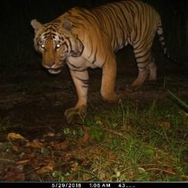 Avertiendo la crisis para los tigres de Nepal