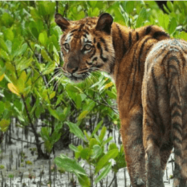 Saving the lives of Tigers and People in the Sundarbans
