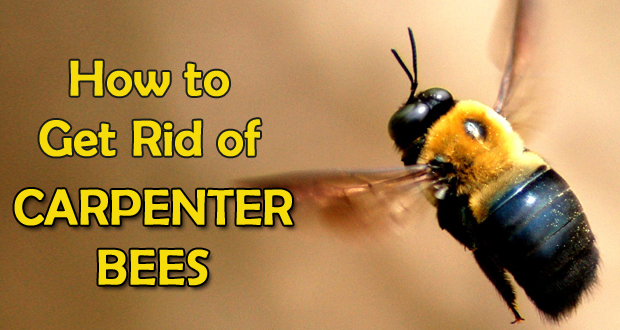 9 Ways To Get Rid of Carpenter Bees Forever