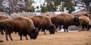 Herd Mentality - Buffalo Herd