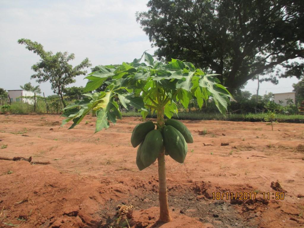 Les espèces de papayers de moins d'un mètre de hauteur qui produisent                (Ferme expérimentale RAPS-Mandoul)