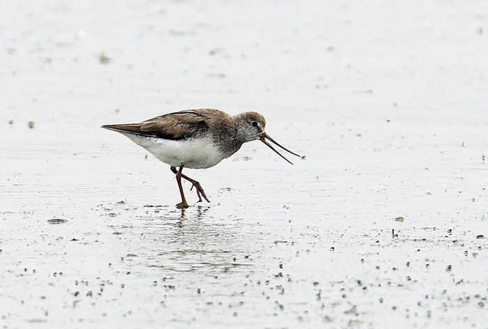 The RBA weekly birding round-up 17-23 Aug