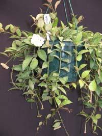 Hoya lacunosa var pallidiflora