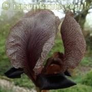 Iris nigricans