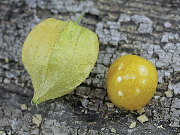Ground Cherry Strawberry Husk Tomato