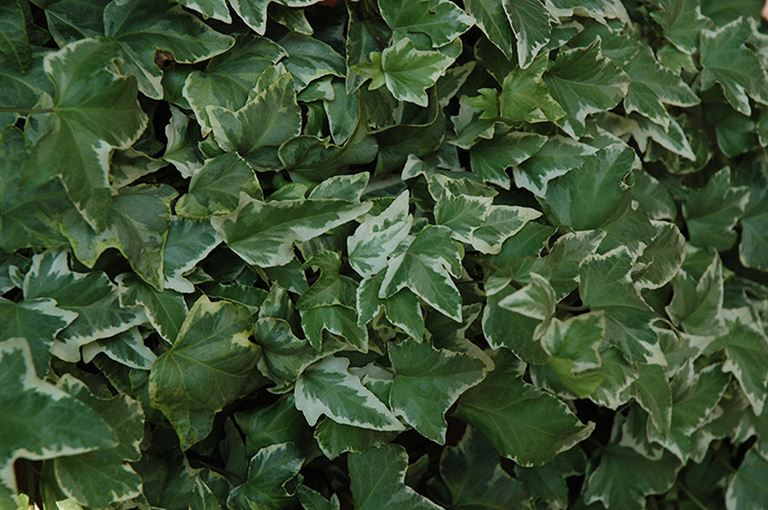 Hedera helix Bettina