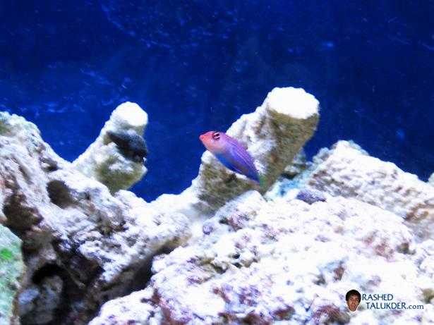 My Sixline Wrasse named Plexi