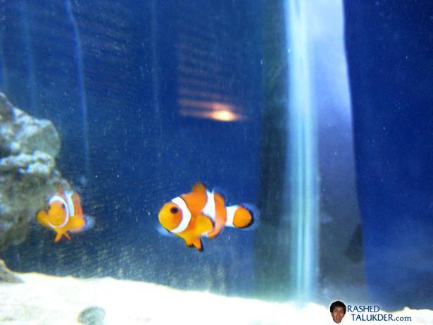 My Percula Clownfish