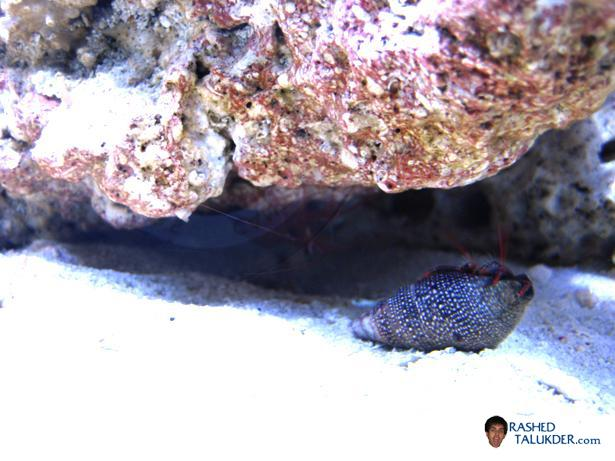 My Peppermint Shrimp and Red Legged Hermit Crab
