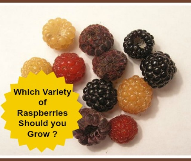 Picture Of Varieties Of Raspberries Red Gold Black Purple Wild
