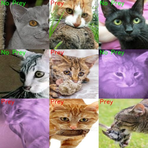Lots of different cats faces close up, some with prey in their mouths, some without