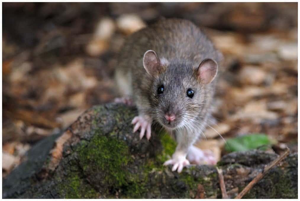 Outdoor rat