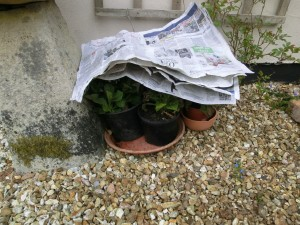Sheets of newspaper provide simple protection from frost. Alpine