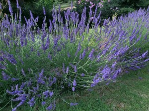 Lavender is good for you