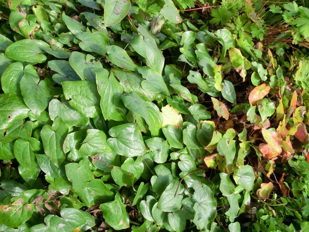 divide plants