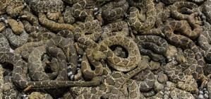 RattlesnakeRoundups.com