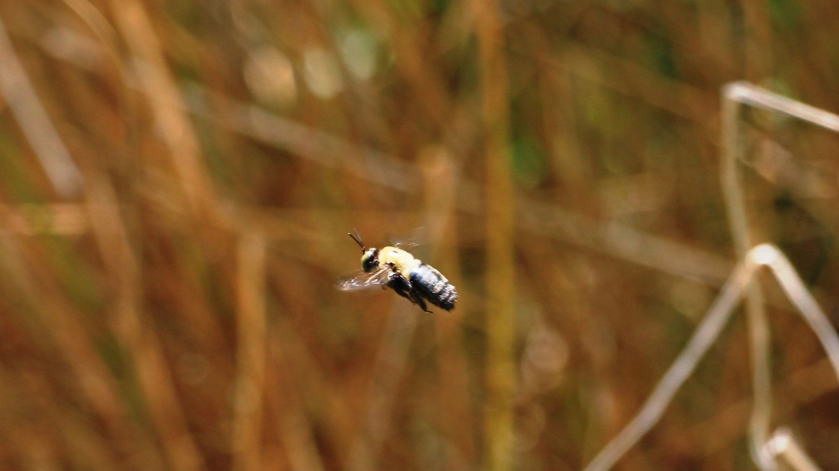 bumblebee by dbarcus1, Flickr