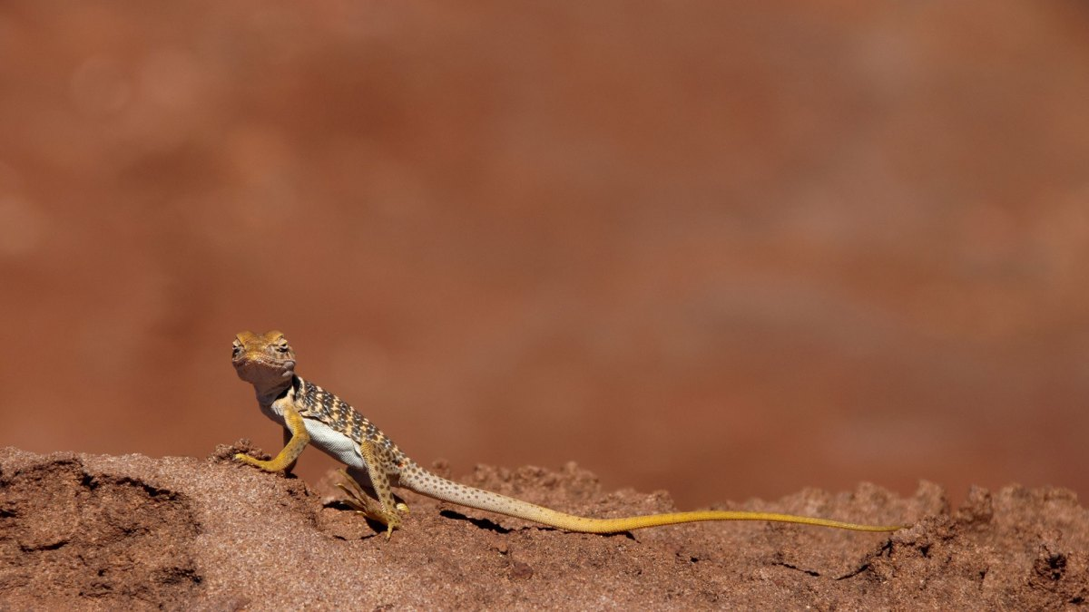 collared lizard baby
